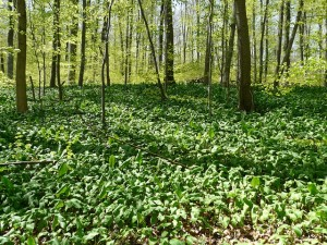 garlic growing in forest