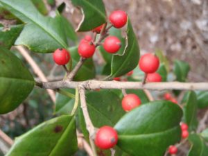 The Toxic Holly Plant
