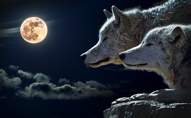 wolves waiting at night